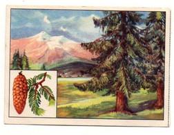 Image Série 13Bild 3Baume Des Deutschen Waldes Tanne Echte Wagner Margarine - Format : 10x7cm - Other