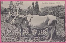 PC13078 Buoi Della Campagna Senese: Oxen Of The Countryside Of Siena, Tuscany, Italy. - Siena