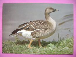 Bird - Wild Goose - Wilde Gans - OIE Sauvage - Anser Fabalis - Ca 1980s Unused - Birds