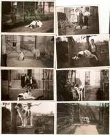 """Lot De 11 Photographies De Chien, """"Patou"""" à Taverny (95), Mâtin Des Pyrénées... Race Ignorée, Clichés 1934-1941, Mastin - Otros"""