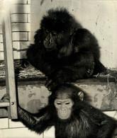RARE MOUNTAIN GORILLA AT LONDON ZOO 1960  By REUTER PHOTO 18.5*24cm ANIMALS DIEREN ANIMAUX MONKEYS SINGES MONOS - Altri