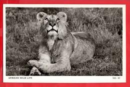 KENYA AFRICAN WILD LIFE    MALE LION    RP - Kenia