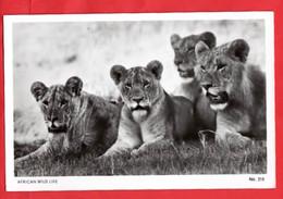 KENYA  AFRICAN WILD LIFE SERIES      LIONS - Kenia