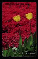 Korea - Tulip - Korea, South