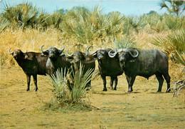 CPSM Moçambique-Gorongosa-Bufalos-Buffles      L631 - Mozambique