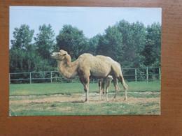 Zoo, Dierenpark, Tierpark / Zoo Katowice-Chorzow - Kameel --> Unwritten - Otros