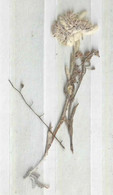 Edelweiss (getrocknet Und Gepresst)         Ca. 1930 - B. Bloemplanten & Bloemen