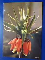 FLEUR TROPICALE COURONNES IMPERIALES  CAMEROUN - Fleurs