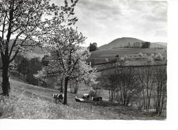 VACHES / Vallée Vosgienne Au Printemps / CPSM La Cigogne Voy. 1968 N° 88.533.82 /FLAMME COLMAR / Carte RARE +++ - Vaches