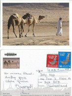 Camels In The Desert  Pcard Oman Sultanate - Oman