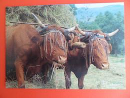 CPSM 1994 - Agriculture - Attelage  Vache Salers  - Tete Protée Par Un Mouchadou  - Ed. Debaisieux - Mucche