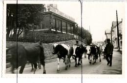 CARTE PHOTO. CPSM. PF. D74.   CHAMONIX - Devanture De L'hôtel Claret Et De Belgique . Troupeaux De Vaches Dans La Rue. - Photographs