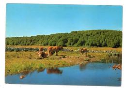 43563-ZE-48-SUR LES MONTS D'AUBRAC-LAC DES SALHIENS---------------troupeau De Vaches - Aumont Aubrac