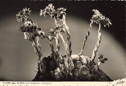 38 Flore Des Alpes La Joubarbe Araignée  ROBY 430 - Autres Communes