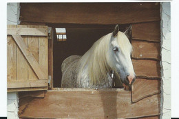 Horse   Postcard   The Shire Horse Centre Plymouth Rp Magic In His Stable Larger Format - Cavalli