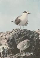 Ascension Islands Postcard Wideawake Bird Georgetown And Pierhead Klinka Klub Set Of Four - Ascension Island