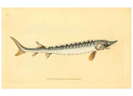 Reproducción/Reproduction 32008784078: The Natural History Of British Fishes :. London :Printed For The Author... - Sonstige