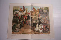 HUHNER  - VOLAILLE - COQS  - POULES  - DOCUMENT En ALLEMAND - Other