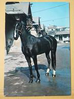 KOV 505-10 - HORSE, CHEVAL, - Paarden