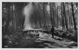PAYS LANDAIS - Clairière Avec Moutons - Unclassified