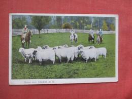 Sheep  Scene Near Salem NH   Ref  4994 - Sin Clasificación