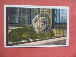 Lions  At Boston  Zoo    Ref  4995 - Leones