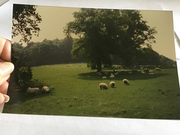 Photo Couleur 1995 Maison Anglaise Angleterre Moutons - Luoghi