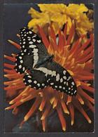 089789/ Papillon De Vinson, Papilio Demodocus - Farfalle