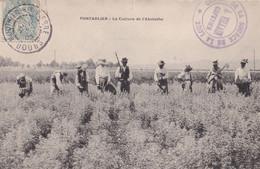 Pontarlier - Culture De L'absinthe - Unclassified