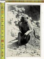 57905 - KATANGA -CONGO BELGE -  Singe - Aap - Zoo Kerel Zitten Er Hier Nog Al Veel - Africa