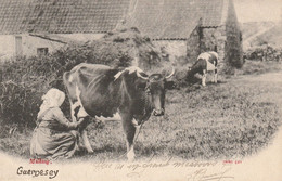 Guernsey Royaume-Uni (5287) Milking - Guernsey
