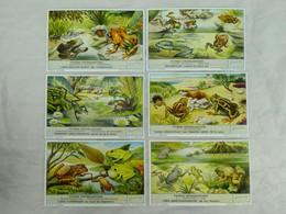 Liebig Chromo - Typische Kikvorsachtigen - 1957 - Liebig