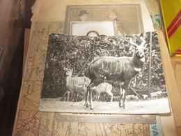 Zoologischer Garten Halle Sitatunga Antilope - Non Classificati