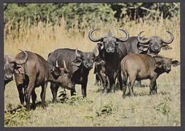 116628/ Troupeau De Buffles Au Kenya - Autres