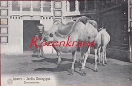 Antwerpen 1911 Dromadaires Kameel Camel Dierentuin Zoo Jardin Zoologique Tiergarten Anvers CPA - Antwerpen