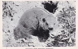 Woodchuck Skunk In Minnesota Real Photo PB Postcard - Non Classificati