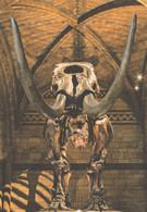 Mammut Americanum Mastodon Dinosaur Skeleton Museum Postcard - Non Classificati