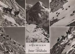 Alpen - Gemsen - Ca. 1955 - Zonder Classificatie