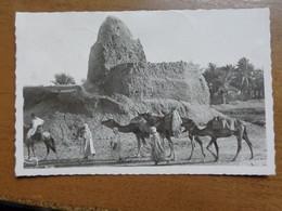 Kameel, Camel, Chameau / Touggourt, Un Marabout -> Written - Otros