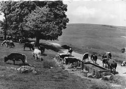 Les Hautes Vosges Vaches à L'abreuvoir - Troupeau      (10 X 15 Cm) - Non Classés