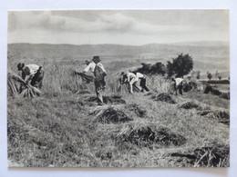 METIER / MOISSON A LA FAUCILLE - PAYSAN / AUVERGNE - Carte Postale Moderne - Farmers