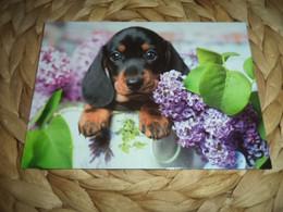 Hund Dog Chien Dackel , Teckel Dachshund Postkarte - Dogs