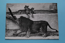 Zoologischer Garten Zürich ( Zoo 58 ) > LÖWE ( Beringer & Pampaluchi ) Anno 19?? ( Voir / Zie Photo ) ! - ZH Zurich