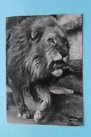 Zoologischer Garten Zürich ( Zoo 258 ) > LÖWE ( Beringer & Pampaluchi ) Anno 19?? ( Voir / Zie Photo ) ! - ZH Zurich