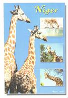 Niger Republic, Giraffes - Giraffes