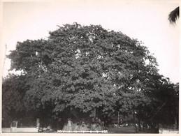 Photo De Presse.ALE10198.23x18 Cm Environ.Majunga.Le Grand Baobab - Autres