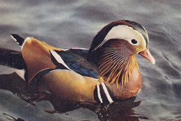 Postcard Mandarin Drake [ Duck ] My Ref B24905MD - Birds