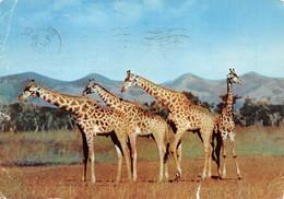 "AMORA Prospection - BASUTOLAND Giraffes -Timbrée, Oblitérée ""Maseru""  1956 (¬‿¬) ♠ - Publicité"