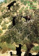 D'essaouira A Agadir Foret D'arganiers Tant Appreciés Des Petites Chevres     CPM Ou CPSM - Agadir