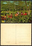 Pakistan Sulhet Tea Gardens Girl  #25433 - Pakistan
